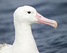southern-albatross